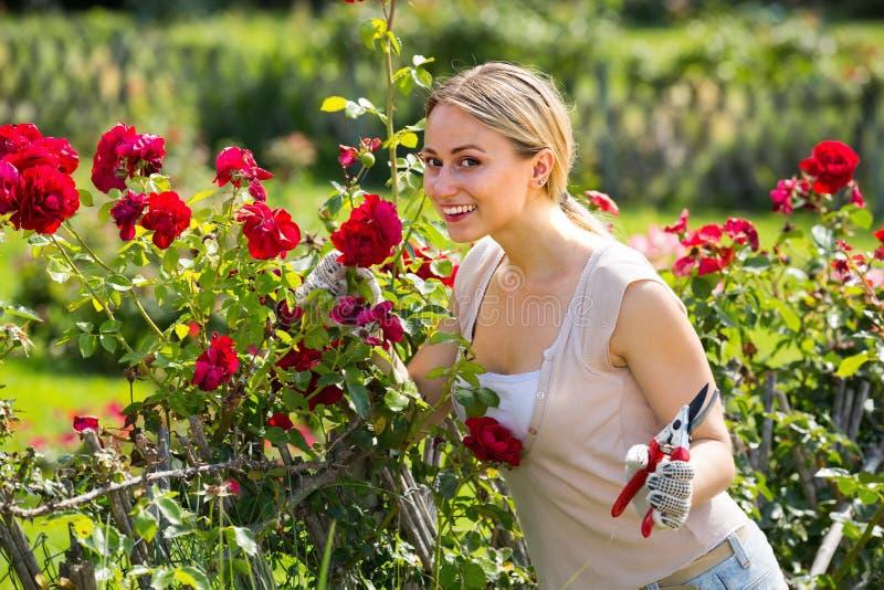 Słodka młoda kobieta pracuje z krzak różami z ogrodniczym zbyt zdjęcie royalty free