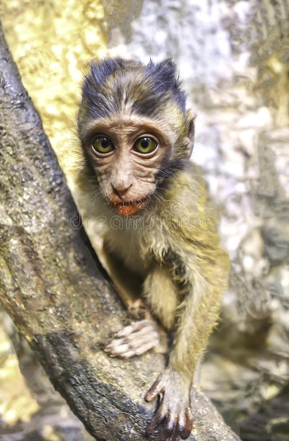 Słodka młoda małpa mieszka w naturalnym lesie, patrząc na oczy zdjęcie royalty free