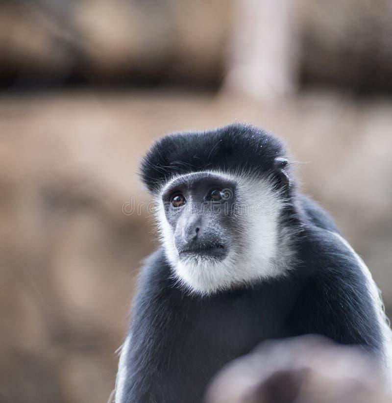 słodka mała małpka obrazy royalty free