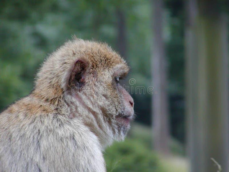 Słodka Małpka Zdjęcia Stock