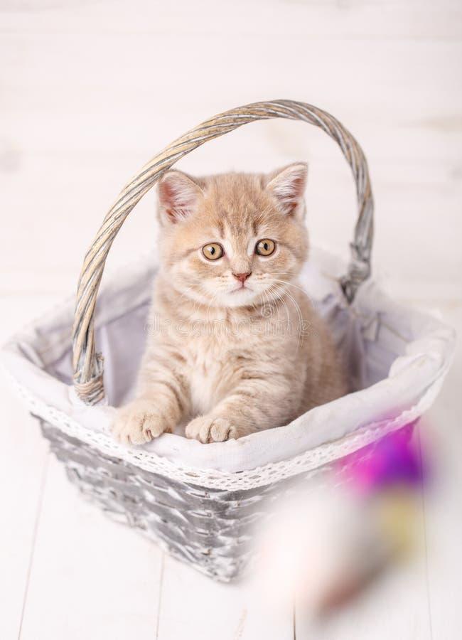 Słodka Szkocka kremowa kolor kiciunia jest usytuowanym w łozinowym koszu Portret kot Kot w domu zdjęcie royalty free