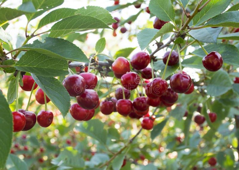 słodki czerwony czereśniowy obwieszenie na gałąź Czere?niowy drzewo Czere?niowy ?niwo zdjęcia stock