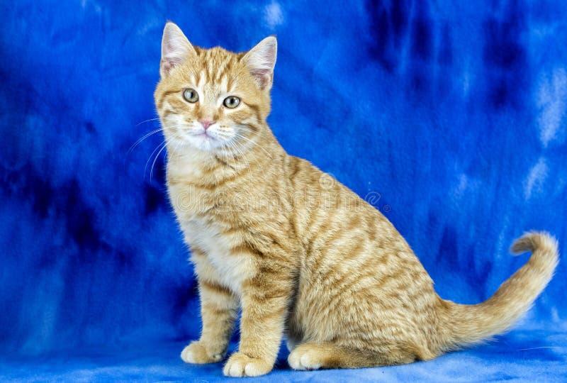 Słodki domowy pomarańczowy kotek adopcyjny studio fotograficzne portret fotografia stock