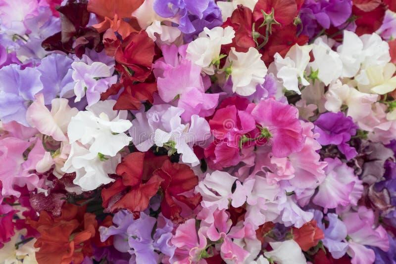 Słodki groch kwitnie w cieniach menchie zdjęcia royalty free