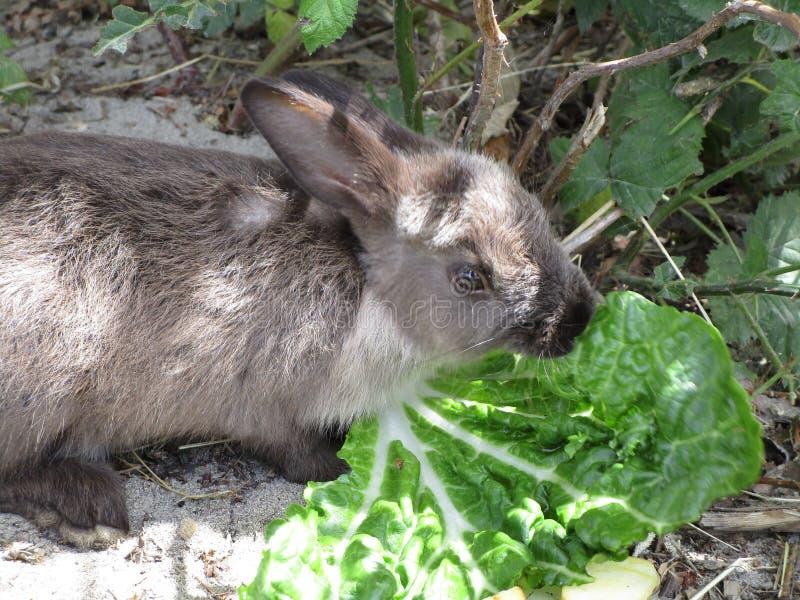 Słodki i śliczny brown młody królika królik z sałatą, 2018 obrazy royalty free