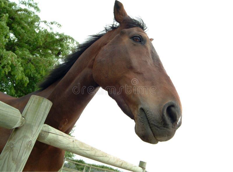 słodki konia zdjęcia royalty free
