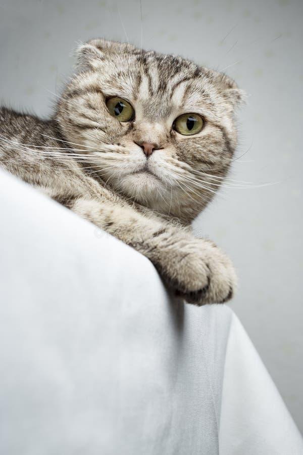 Słodki kot Scottish Fold leży na stole i patrzy na kamerę, na białym tle obraz stock