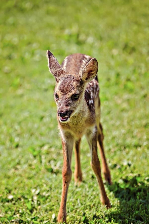 Słodki młody dziki jeleń zdjęcia royalty free