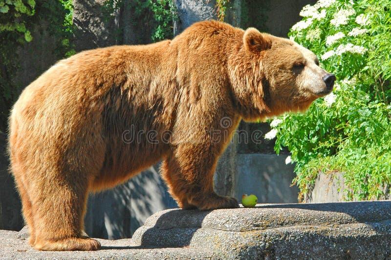 Słodki niedźwiedź jedzący jabłko obrazy royalty free