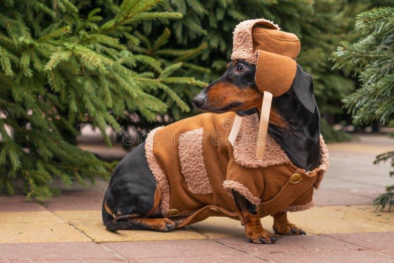 SÅ'odki pies rasa Dachshund, czarny i opalony, w kapeluszu zimowym i bluzie na targu Å›wiÄ…tecznym w sprzedaży choinek zdjęcie stock