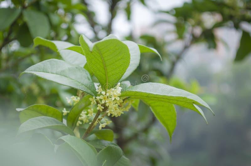 Słodki Sierpniowy Osmanthus kwiat fotografia royalty free