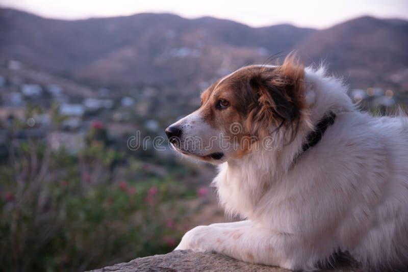 Słodki sierpowy pies biały sierść i brązowa głowa spoczywają spokojnie zdjęcia stock