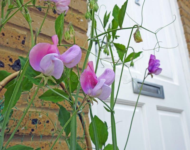 Słodkich grochów stamens połuszczą nasieniodajny mały patio puszkującą kwiat rośliien ogródów zbiornika ogródu lata wiosnę zdjęcie stock