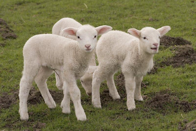 słodkich owieczki zdjęcie stock