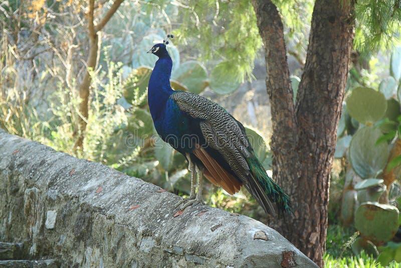 słodkie ptaka paw zdjęcia royalty free