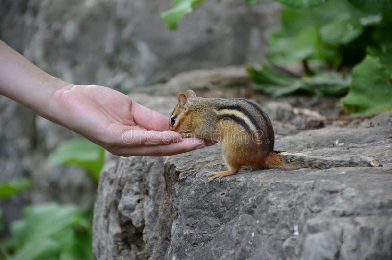 słodkie wiewiórka obrazy stock