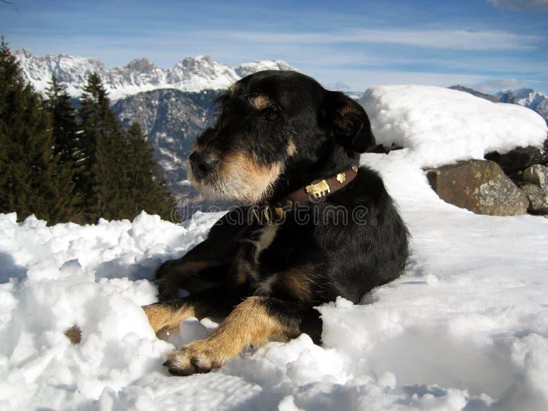 Słodkiego szwajcara psi kłaść w śniegu up w górach zdjęcie stock