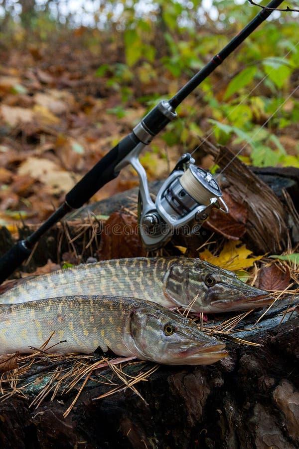 Słodkowodna szczupak ryba kłama na drewnianym konopie i połowu prąciu z zdjęcia royalty free