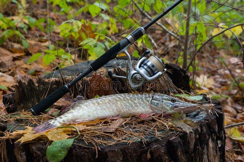Słodkowodna szczupak ryba kłama na drewnianym konopie i połowu prąciu z fotografia royalty free