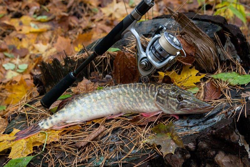 Słodkowodna szczupak ryba kłama na drewnianym konopie i połowu prąciu z obraz stock