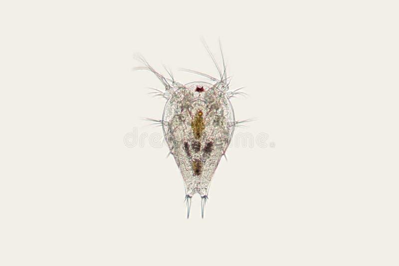 Słodkowodna zooplanktonu widłonoga naupliusu larwa Mikroskopijny crustacean zdjęcie stock