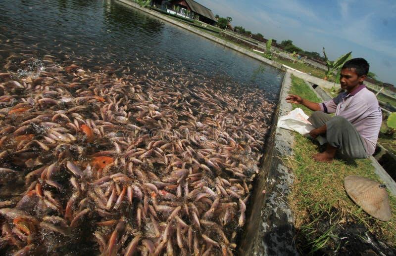 Słodkowodnej ryba rozpłodniki obraz royalty free