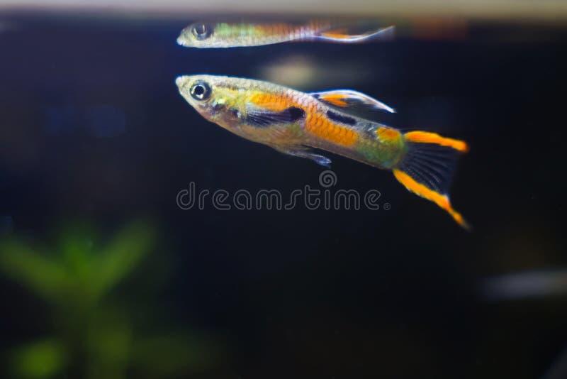 Słodkowodny akwarium karła ryby Guppy endler, Poecilia wingei, jaskrawa dorosła samiec przy wody powierzchnią z swój odbiciem w b fotografia royalty free