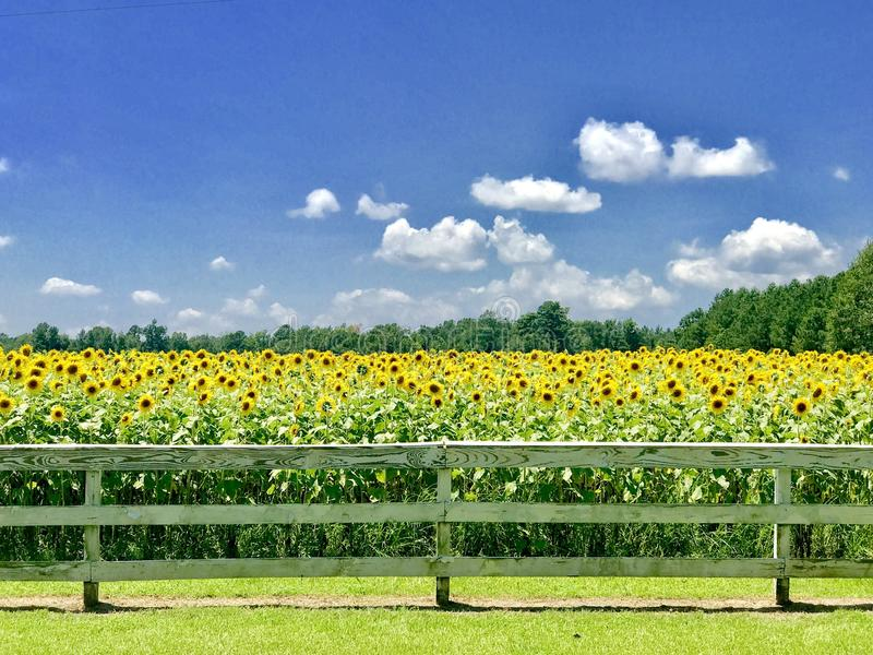 Słoneczników pola na prerii obraz stock