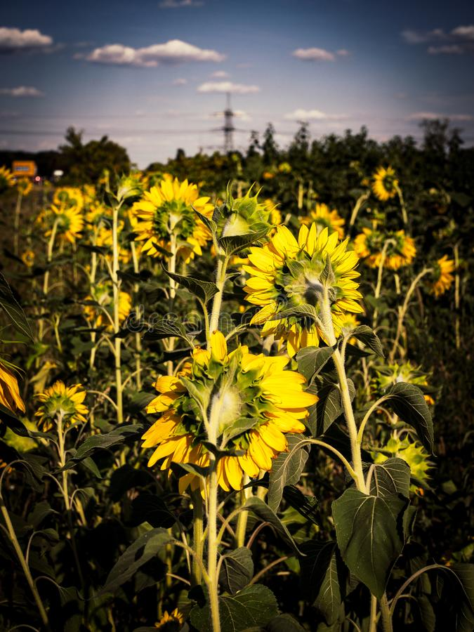 Słoneczników pola z niebieskim niebem obraz royalty free