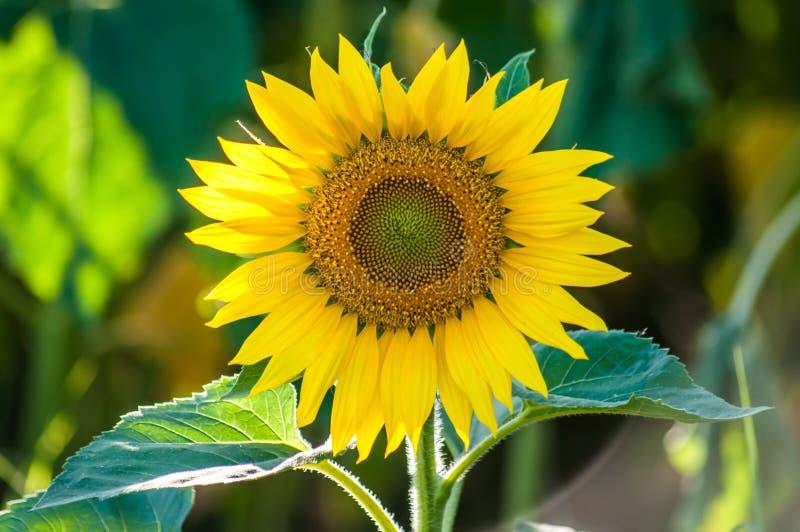 Słoneczników ziarna i głowa zdjęcie royalty free