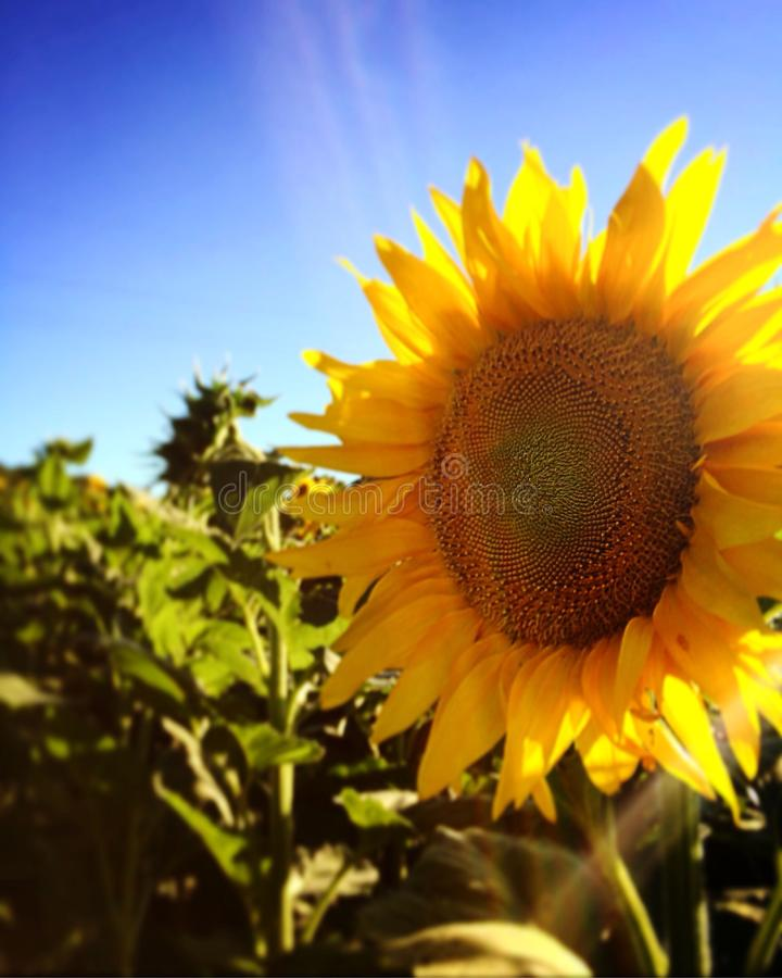 Słonecznik 2 fotografia stock