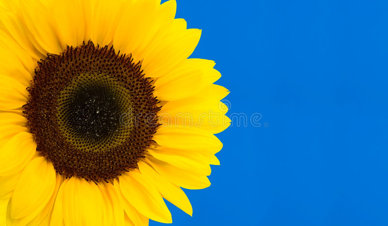 Słonecznik zdjęcia stock