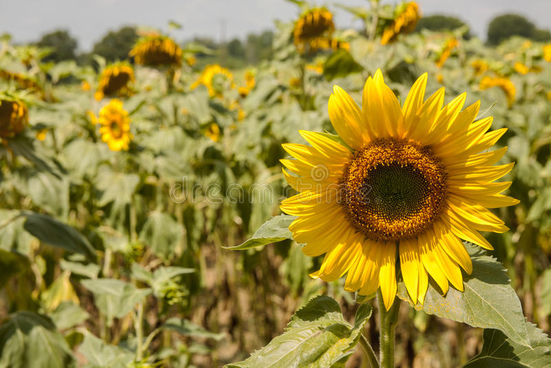 słonecznik, blisko zdjęcia stock