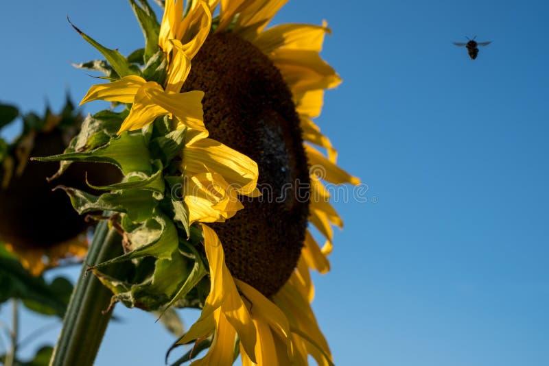 Słonecznik, fotografujący od strony w naturalnym świetle dziennym na jasnym lata ` s dniu Pszczoła może być widzieć unosić się bl fotografia royalty free