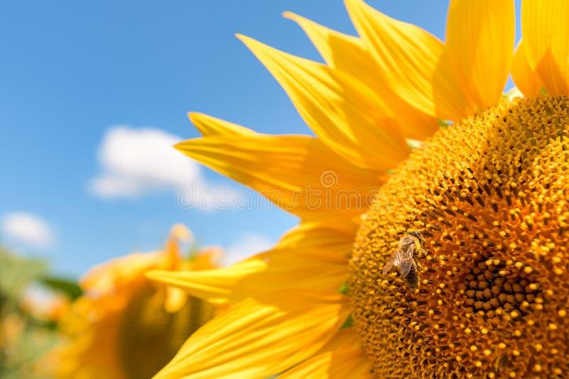 Słonecznik głowa zamknięta w górę zdjęcia royalty free