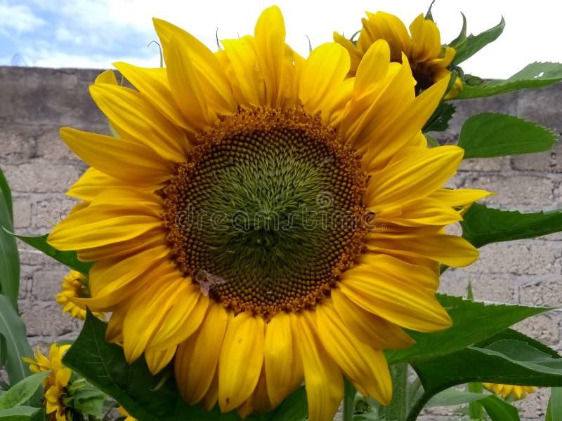 Słonecznik i pszczoła obraz royalty free