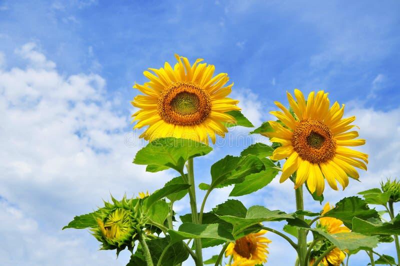 Słonecznik, lato kwiaty obraz royalty free