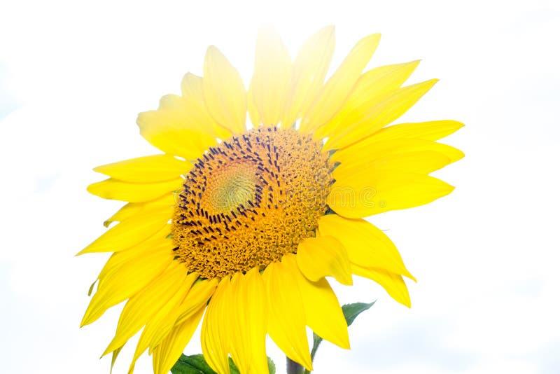 Słonecznik na świetle słonecznym w ogródzie obraz royalty free