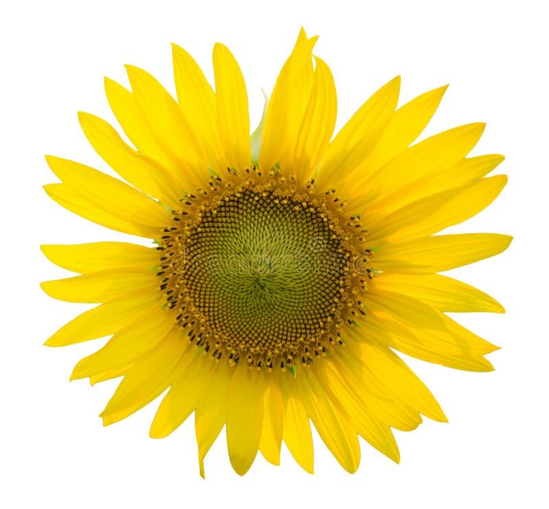 Słonecznik na odosobnionym białym tle obrazy stock