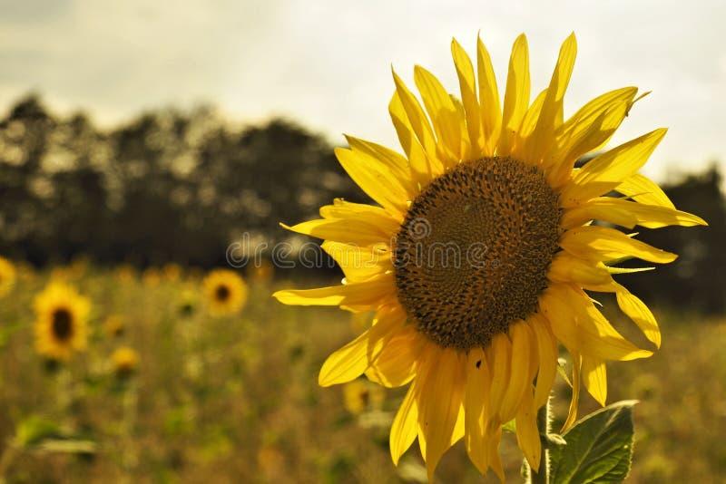 Słonecznik na polu w świetle słonecznym fotografia royalty free