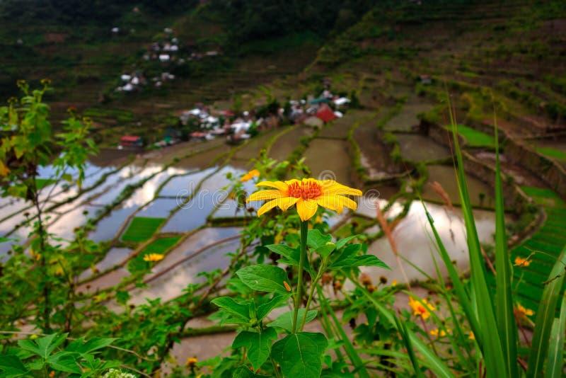 Słonecznik na ryżu tarasie zdjęcie stock
