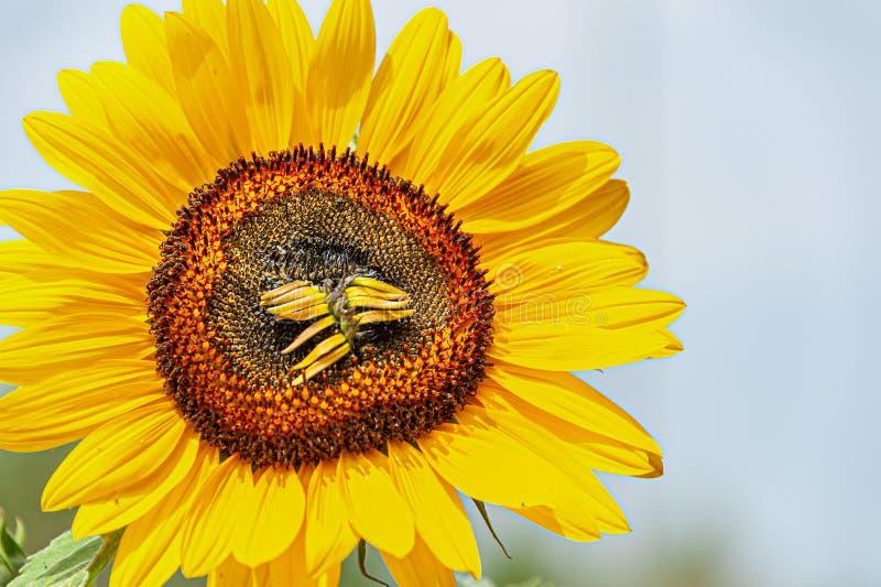 Słonecznik na słońcu z suchymi podłogami obraz stock
