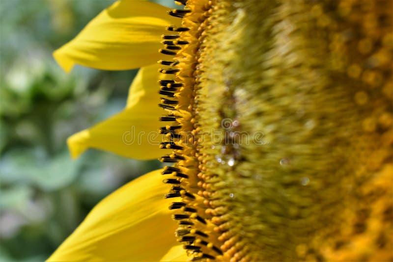 Słonecznik na stronie obrazy royalty free
