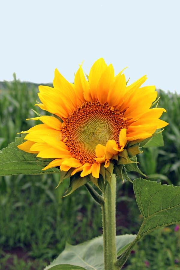 Słonecznik na zielonym polu, jasny niebo fotografia stock