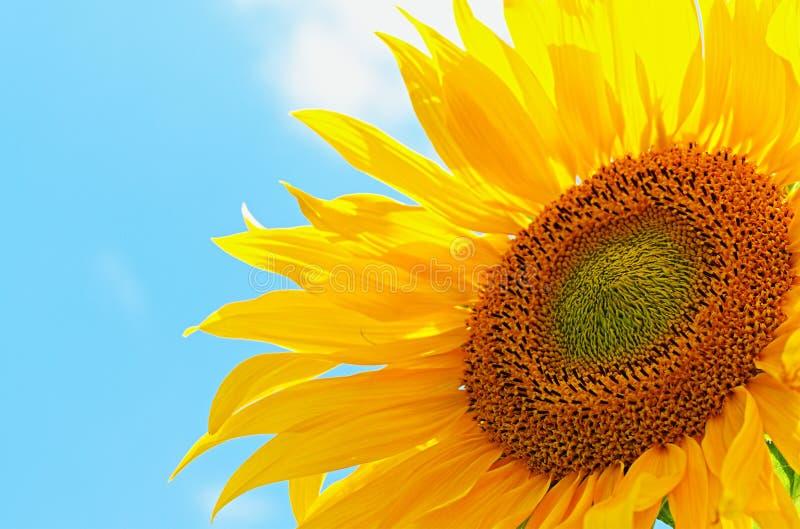 Słonecznik nad niebieskim niebem zdjęcia royalty free