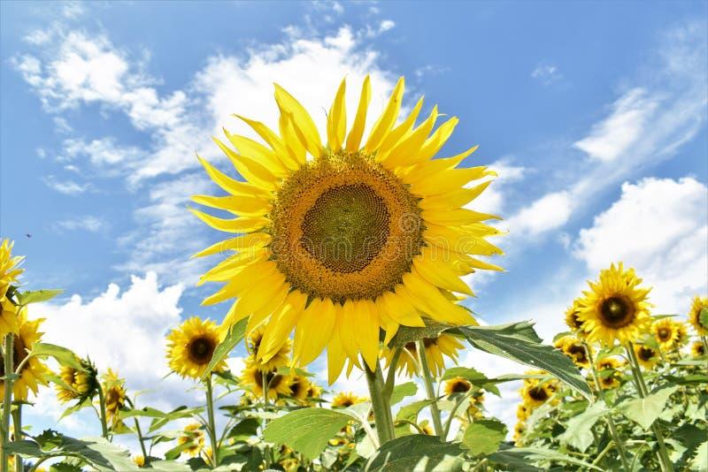 Słonecznik niebo fotografia stock