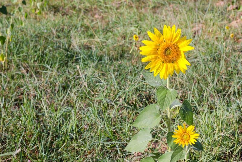 słonecznik ogrodu fotografia royalty free