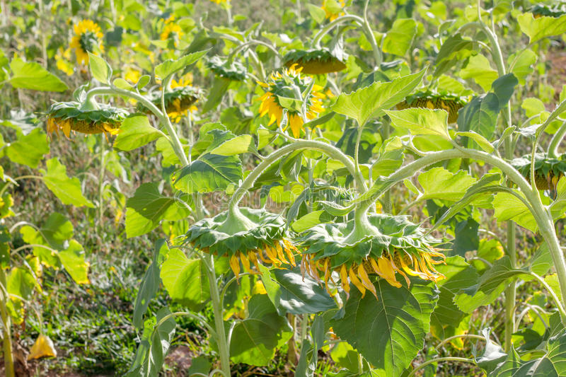 słonecznik ogrodu fotografia stock