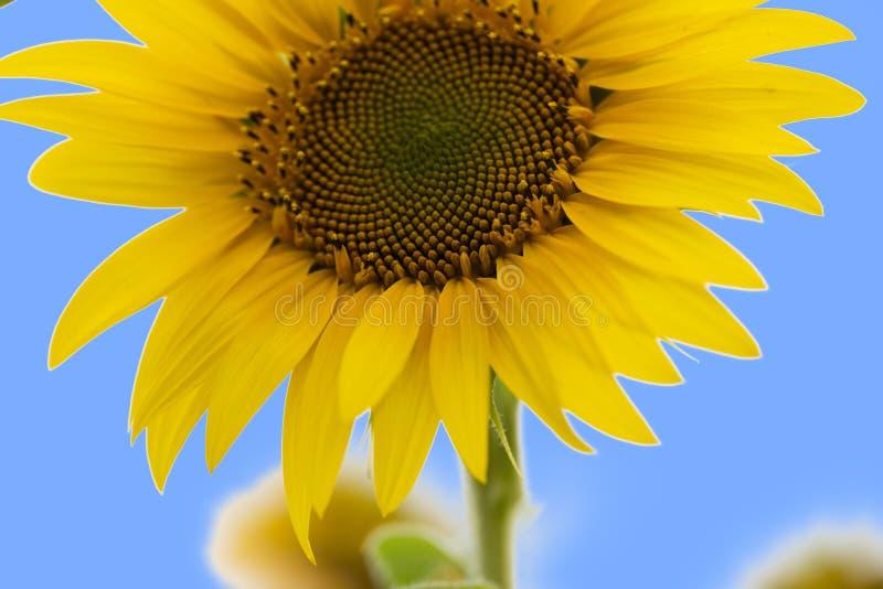Słonecznik Olej słonecznikowy może być stosowany do silników Diesla, jeżeli jest mieszany z olejem napędowym w zbiorniku zdjęcia royalty free