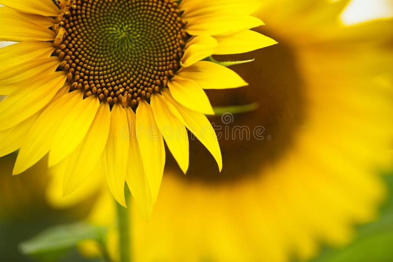 Słonecznik Olej słonecznikowy może być stosowany do silników Diesla, jeżeli jest mieszany z olejem napędowym w zbiorniku obrazy royalty free